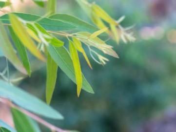 Manfaat Kandungan Eucalyptus dalam Disinfektan
